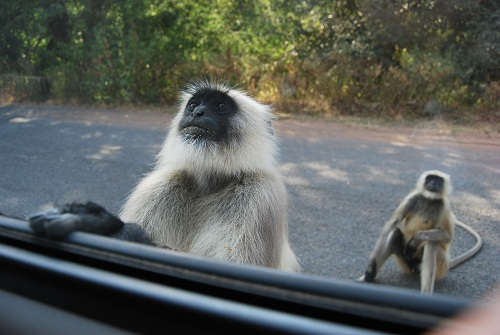 Monkeys in Ranakpur