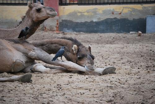 Camelli sornioni