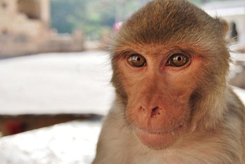 Primo piano Macaco Rheus