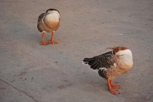 Ducks in Varanasi