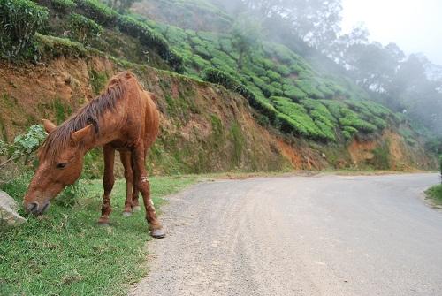 Cavallo in Munnar