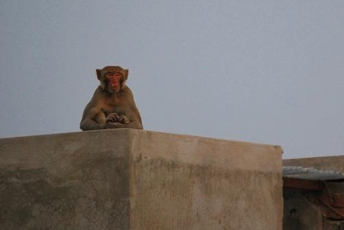 Meditative monkey