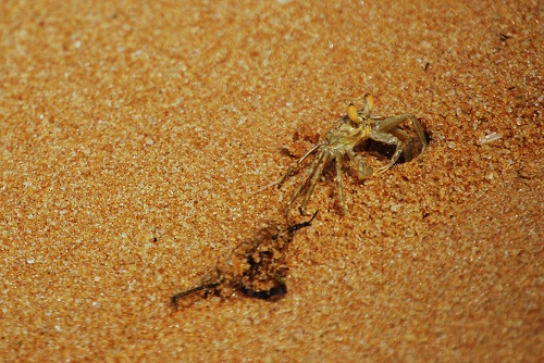 Crab on Puthenthoppu Beach