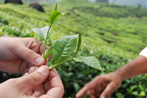 foglie di thè