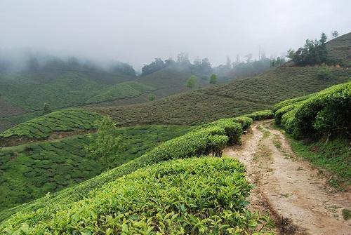 Giovani coltivazioni di tè in Munnar