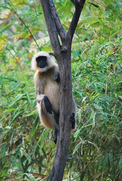 Macaco grigio al Panna National Park