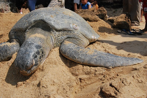 Turtle in Anjuna beach