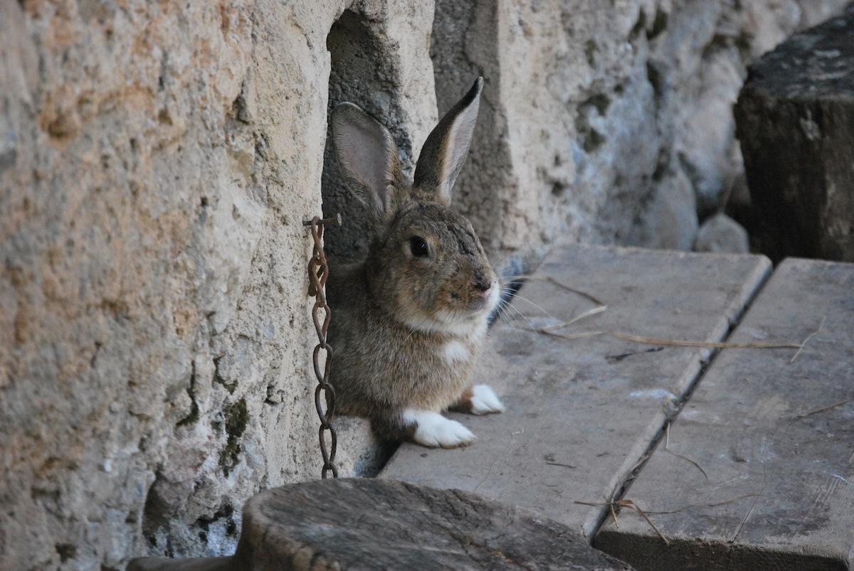 Coniglio fattoria