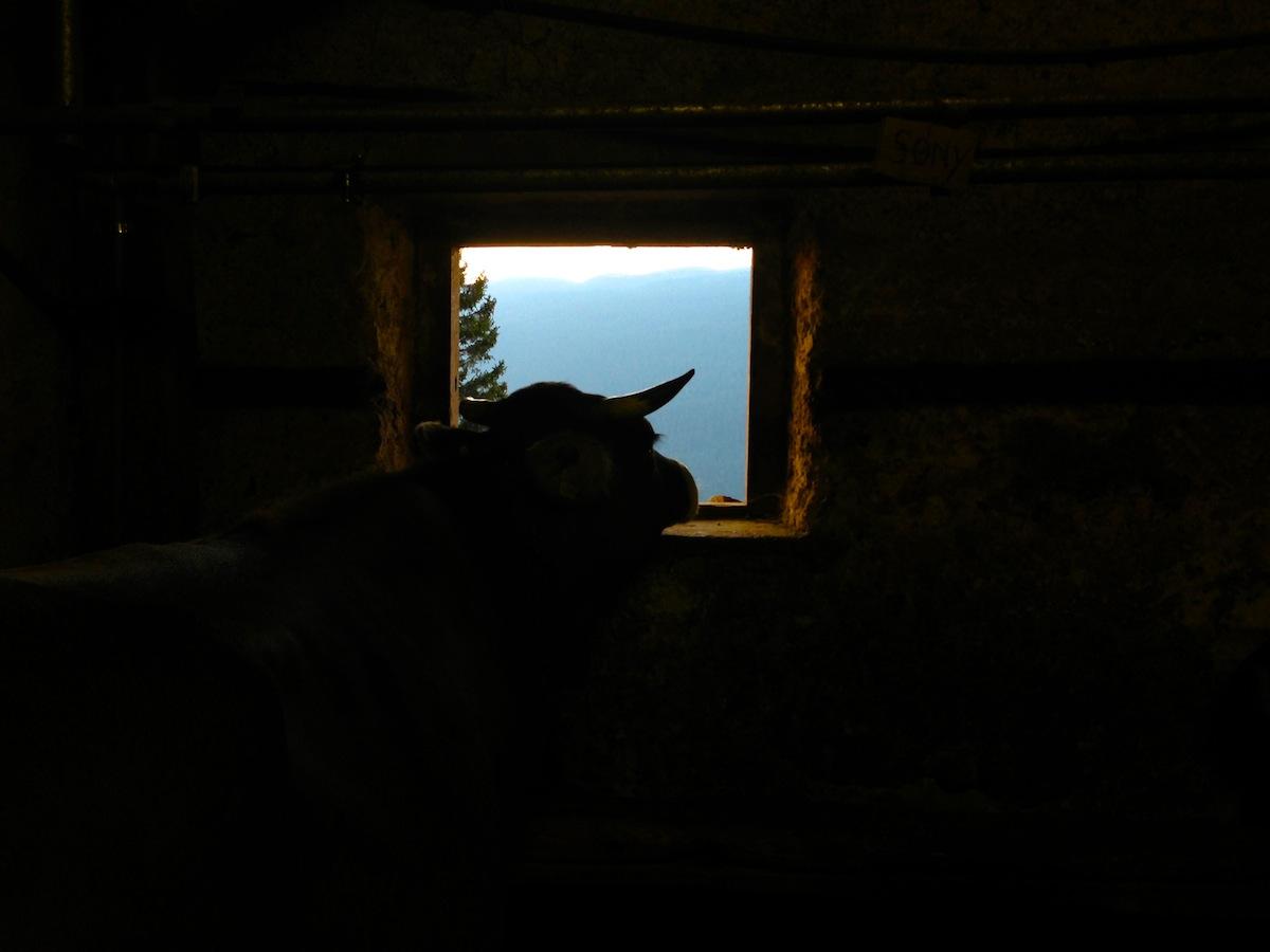 Mucca in Trentino