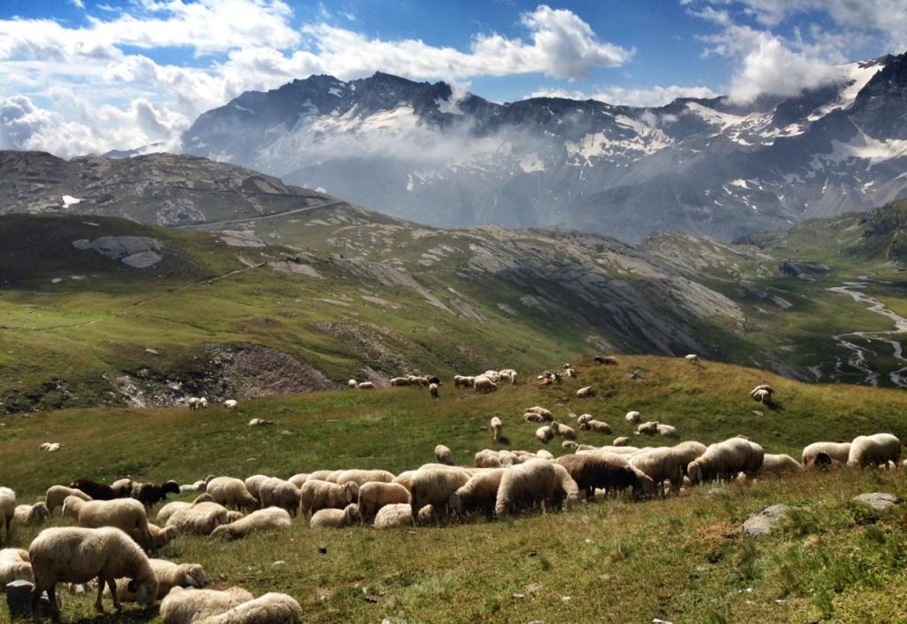 Pecore nel Parco Nazionale del Gran Paradiso
