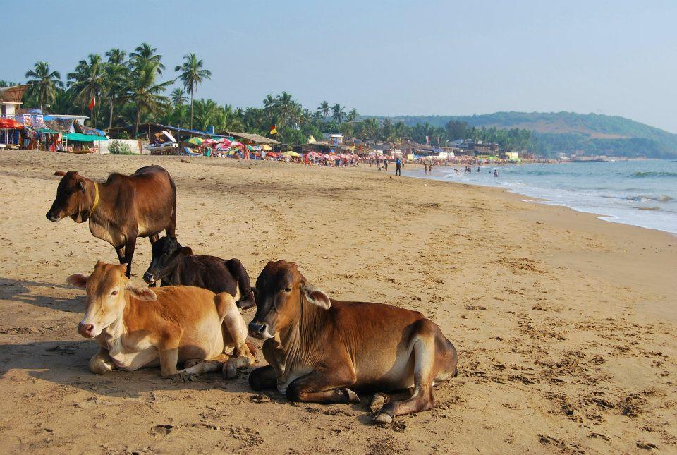 Mucche al mare Goa
