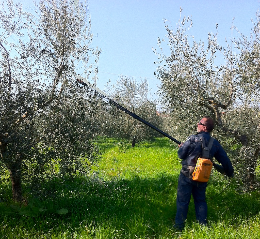 Potatura olivi Toscana