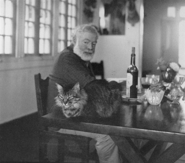 Hemingway e Main Coon