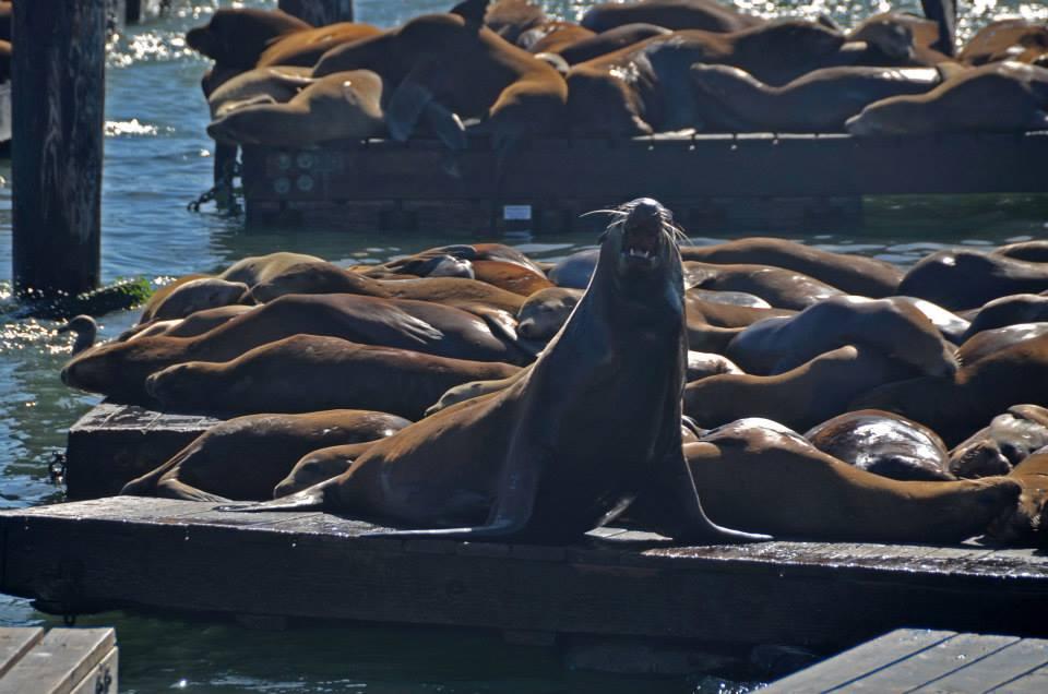 Leoni marini di Fisherman's Wharf